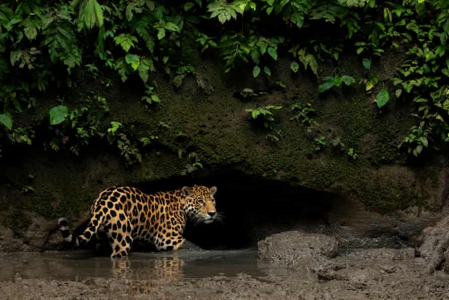 A jaguar in the Yasuni national park, Orellana, Ecuador