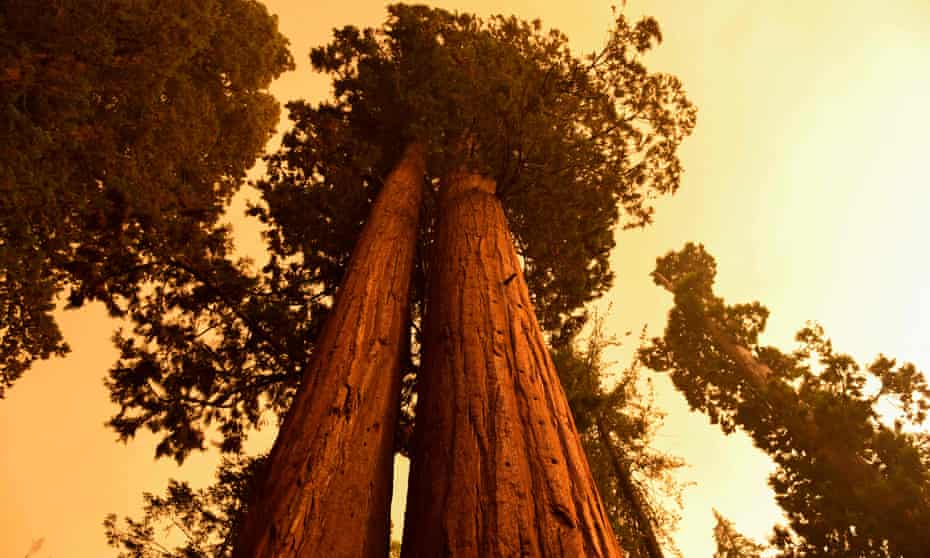 Giant sequoia trees stand under smoke-filled skies near the KNP Complex fire in California.