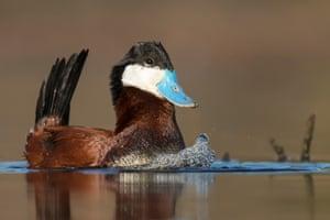 Ruddy duck, British Columbia, Canada