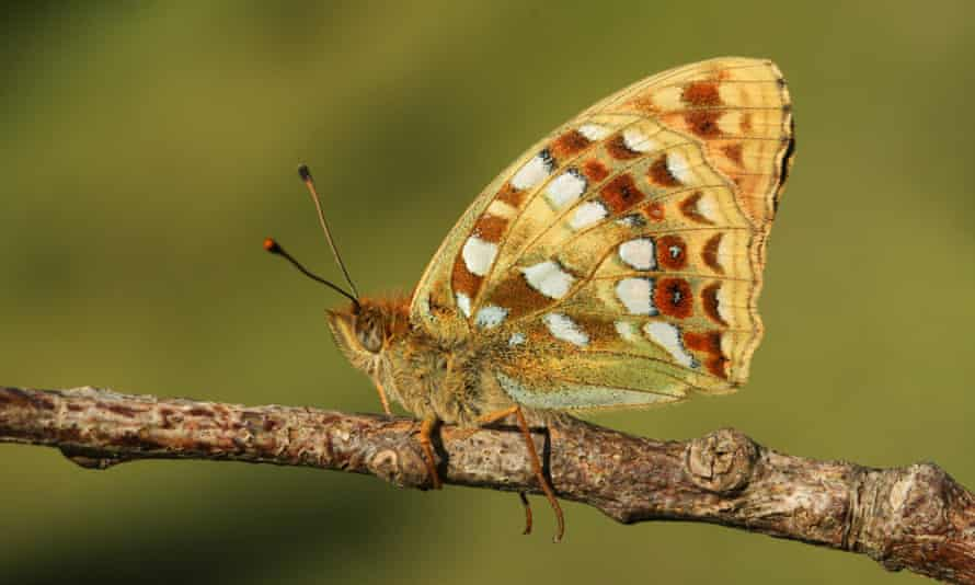 The high brown fritillary butterfly is a species in decline in the UK.