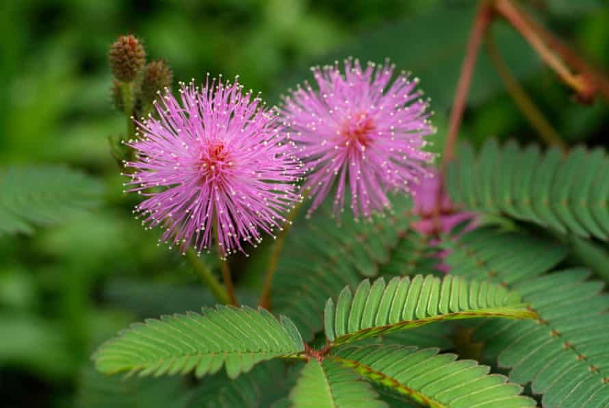 Flowers of Mimosa pudica