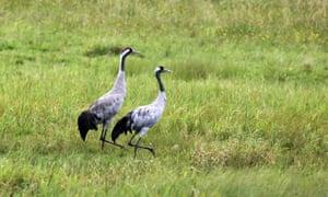 A pair of Eurasian cranes in a meadow beside a canal near Rheinsberg.