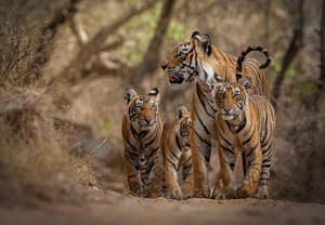 Ranthambhore's much loved and well-known tigress accompanied by her three female cubs. Bandhavgarh national park, Madhya Pradesh, India.