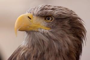 A white-tailed sea eagle in Turtle, Eagle, Cheetah: A Slow Odyssey