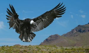 American condor landing in the South American Andes