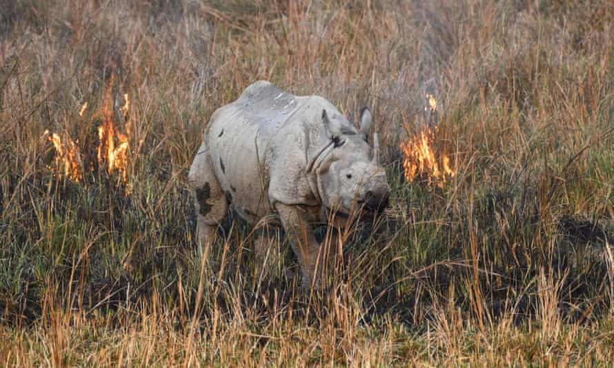 A rhinoceros walks through a wildfire in a field at Pobitora wildlife sanctuary in Assam state, India