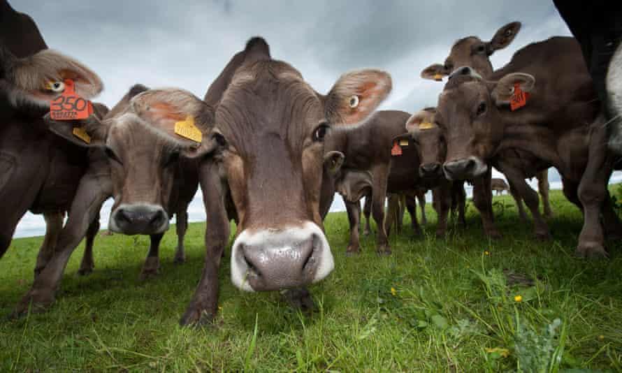 A herd of brown Swiss dairy cattle in Dumfries, Scotland.