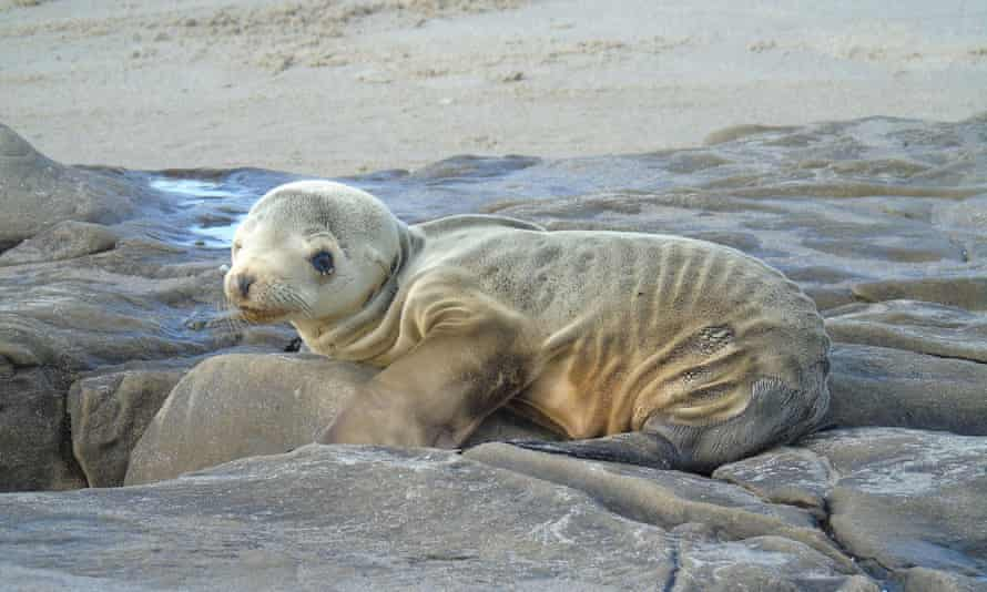 Sea lion pup under normal weight - Feb 2015.