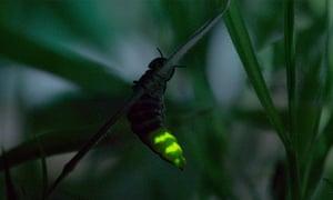 GLOW-WORM female glowing Lampyris noctiluca