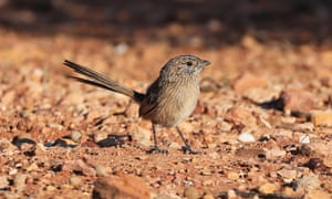 The grey range thick-billed grasswren is among a 'forgotten flock' of birds at significant risk of extinction in the next two decades.