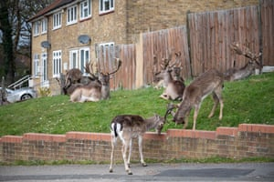 Fallow deer from Dagnam Park rest and graze on the grass outside homes on a housing estate in Harold Hill