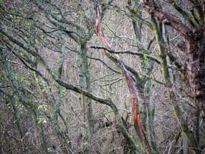 Trees ravaged by alder dieback disease