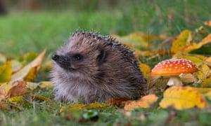 Hedgehog Hibern8 at Pensthorpe Natural Park, Norfolk