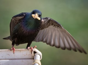 Klinovka, Crimea: A starling holds a worm in its beak as it looks at the camera