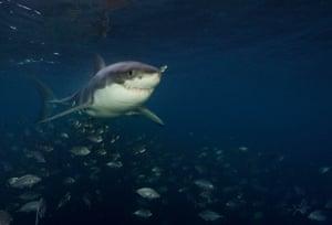 A great white shark swims in waters off the Neptune Islands.