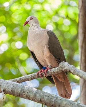 Wild pink pigeon