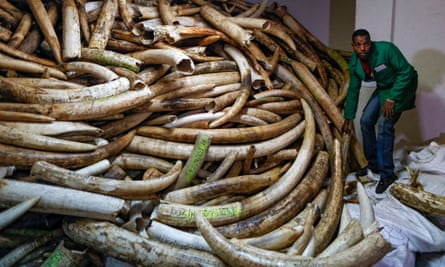 A worker carries a tusk as he works with others to move the ivory stockpiles out of a strongroom to the container outside at the Kenya Wildlife Service (KWS) headquarters in Nairobi, Kenya.