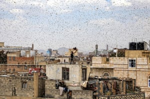 A man tries to catch locusts while standing on a rooftop as they swarm over the Huthi rebel-held city of Sanaa, Yemen.
