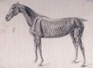 George Stubbs's study for The Third Anatomical Table of the Muscles ... of the Horse (1756-1758).