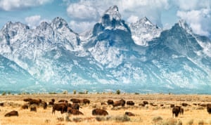 Running with the herd: bison on the prairie below the Grand Teton mountains in Yellowstone.