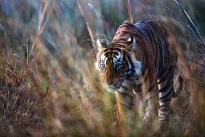 Soft-focus portrait of a male Bengal tiger in Ranthambhore national park