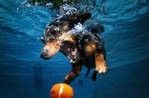 A dachshund dives into a pool to retrieve a tennis ball. Photographer Seth Casteel spent hours underwater in Los Angeles, taking pictures of dogs swimming and retrieving objects.