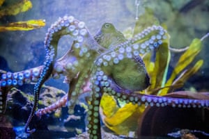 Inky the octopus swimming in a tank at the National Aquarium of New Zealand in Napier, New Zealand