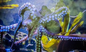 Inky the Octopus at the National Aquarium of New Zealand.