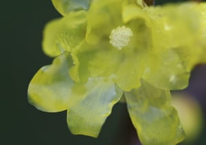 A close up of the wintersweet flower