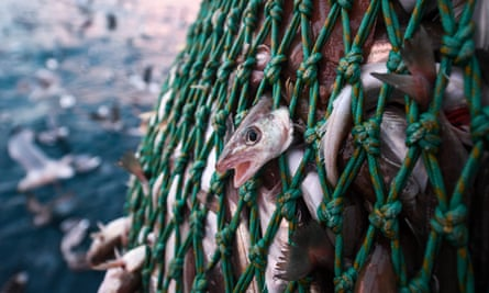 A fishing haul off the coast of Shetland, Scotland