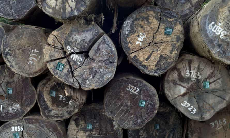 Trees logged in Indonesia for export to Europe. Only the first seller of timber to the European market has to verify legality, so contraband spot checks are ineffective.