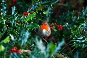 A robin sits on a holly branch at the RSPB's Loch Leven nature reserve in Kinross, Scotland