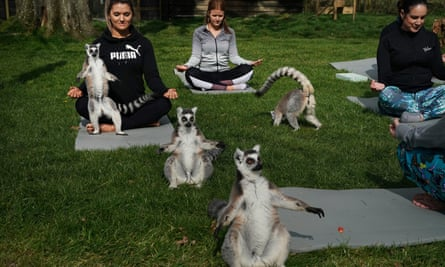Lemoga classes with lemurs and visitors striking the same pose