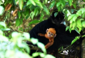 An François' langur with its young in the Mayanghe national nature reserve in Guizhou province, China. Numbers in the reserve have increased in recent years, but the species is still one of China's most endangered
