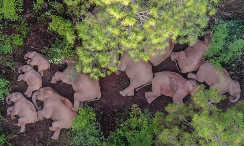 Aerial photo taken on June 13, 2021 shows a herd of wild Asian elephants in Shijie Township of Yimen County, Yuxi City, southwest China's Yunnan Province. A wandering herd of wild Asian elephants made the headlines in China's Yunnan Province in June.