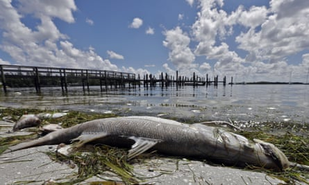 A dead snook along the water's edge in Bradenton Beach.