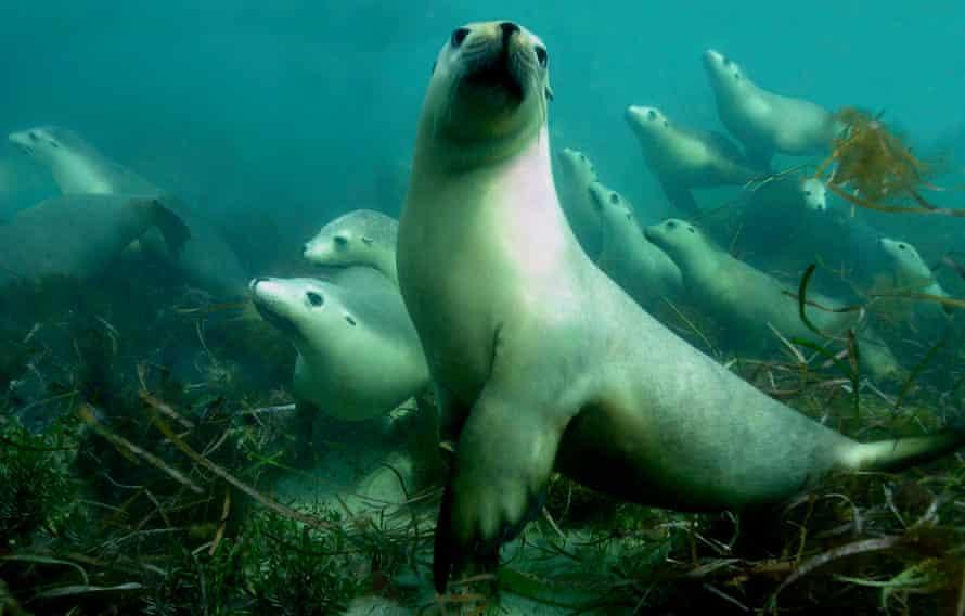 Australian sea lions, Hopkins Island, South Australia