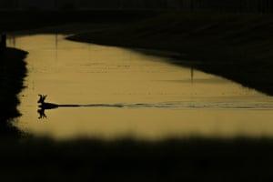 Deer swims ditch