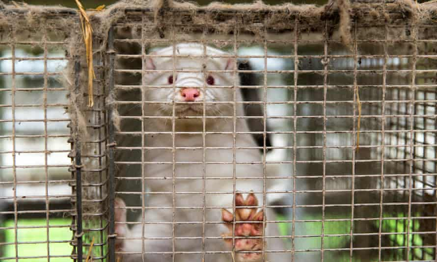 A mink in a cage