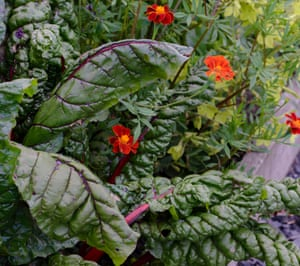 Swiss chard 'Charlotte' with tagetes.