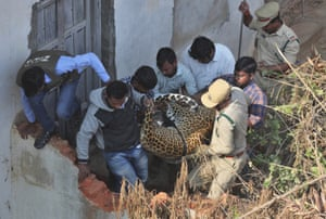 Shadnagar, India. Wildlife officials carry a tranquillised leopard that was found on the terrace of a house