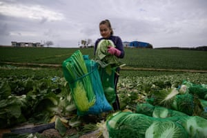 A worker from Thailand packages cabbages during a harvest at a cabbage farm near Mokpo