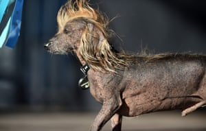 Himisaboo, a Chinese Crested Wiener mix