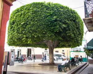 """Manicured, large tree in a square surrounded by benches in Guanajuato, Mexico. Comment by photographer: """"Guanajuato is a small city with a huge cultural scene – the highlight of which is the Cervantino Internacional festival (11-29 October). But it's also a place where it's good just wander. I came across this well-manicured tree after a few hours of exploration."""""""