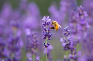 A honey bee on lavender at a farm in Ontario, Canada