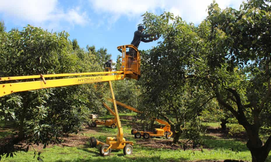 Te Puke avocado orchard, Bay of Plenty, which has been hit by a spate of thefts