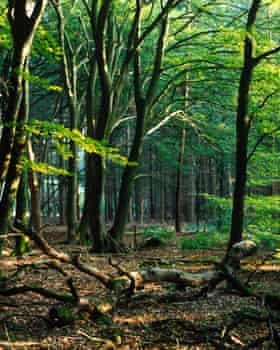 Younger ash trees in woodland