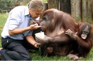 Old friends: David Attenborough with orangutans in 1982.