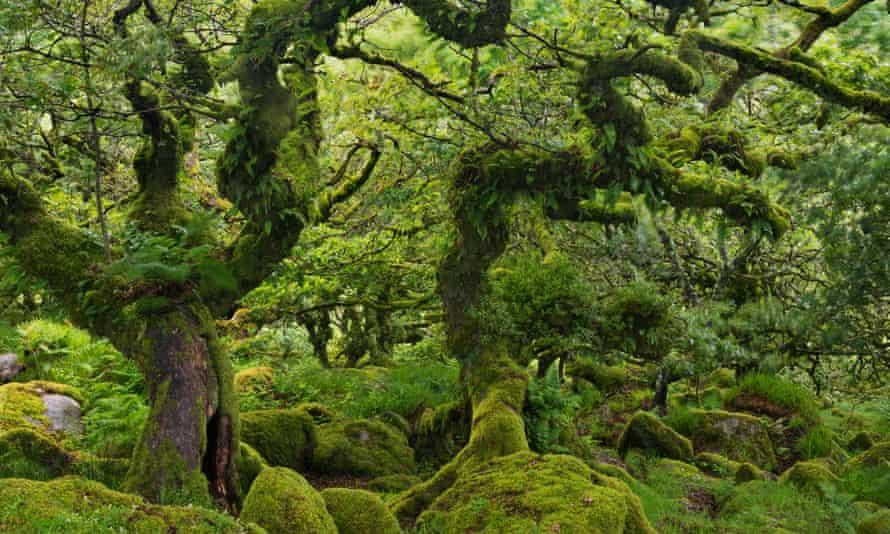 'All words miss' … .stunted oaks in Wistman's Wood, Dartmoor.