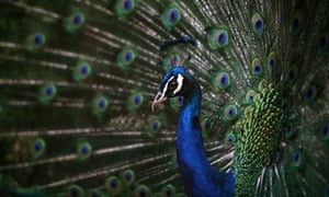 93cbfff2f A peacock's tail: how Darwin arrived at his theory of sexual selection